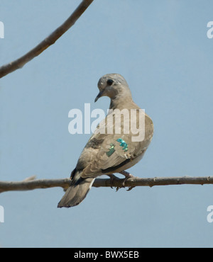 Emerald-Spotted Wood-Dove (Turtur chalcospilos), Kruger National Park, South Africa - Stock Photo
