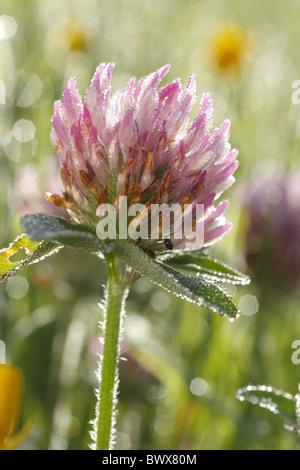 Trifolium pratense red clover legume nature natural wild wildlife environment environmental europe european flower - Stock Photo
