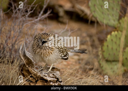 Greater Roadrunner (Geococcyx californianus) Arizona mouth open cooling itself - Stock Photo