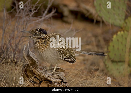 Greater Roadrunner (Geococcyx californianus) Arizona mouth open to cool itself - Stock Photo