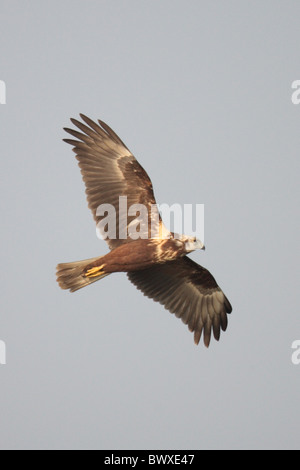 Eastern Marsh-harrier (Circus spilonotus) first winter male, in flight, Mai Po Nature Reserve, Hong Kong, China - Stock Photo
