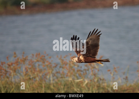 Eastern Marsh-harrier (Circus spilonotus) first winter male, in flight over fishpond, Mai Po Nature Reserve, Hong - Stock Photo