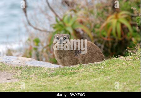 Rock Hyrax or Dassies, Procavia capensis, Procaviidae. Tsitsikamma Nature Reserve, South Africa. - Stock Photo