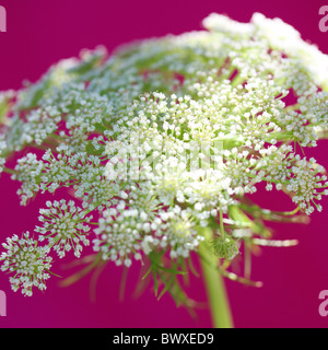 gorgeous ammi on cerise Jane-Ann Butler Photography JABP892 - Stock Photo