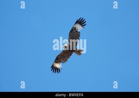 Black-breasted Buzzard (Hamirostra melanosternon) adult, in flight, Kakadu N.P., Northern Territory, Australia, - Stock Photo