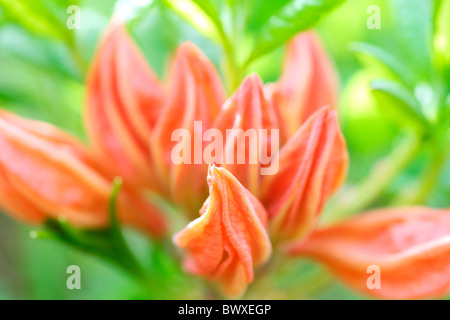 lovely orange azalea buds, harmony in nature Jane-Ann Butler Photography JABP884 - Stock Photo