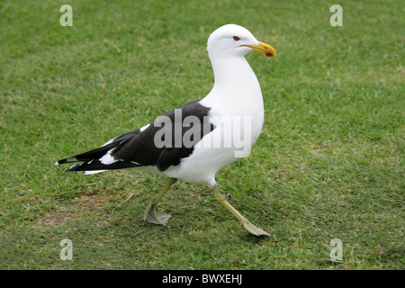 Lesser Black Backed Gull, Larus fuscus graellsii, Laridae. - Stock Photo