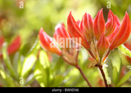lovely orange azalea buds, harmony in nature Jane-Ann Butler Photography JABP882 - Stock Photo