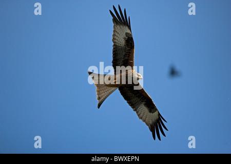 Red Kite (Milvus milvus) Wales - UK - Protected in the UK and increasing its range - Stock Photo