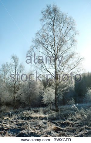 Frost covered birch trees in Galloway Forest Park, Dumfries & Galloway, Scotland - Stock Photo