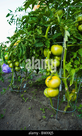 Ripening green tomatoes on the vine in a community garden. Seattle, Washington. - Stock Photo