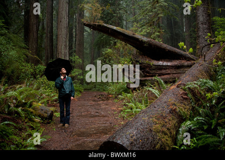 man stands with umbrella in the red wood forest in northern california - Stock Photo