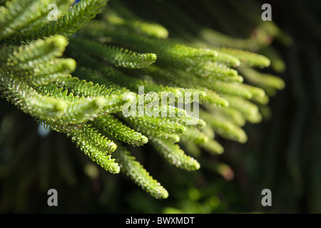 Close up of fresh branches on a Christmas tree, evergreen - Stock Photo