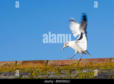 Herring Gull, Larus argentatus landing on roof. UK - Stock Photo