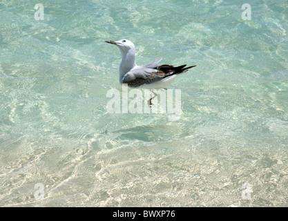 Silver gull Chroicocephalus novaehollandiae swimming off the beach in Western Australia - Stock Photo