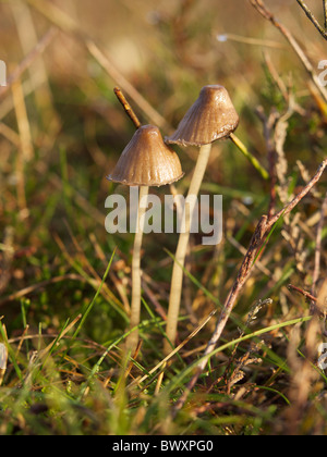 Two small brown mushrooms with very thin stems in Dorst, Noord Brabant, the Netherlands They are about 5cm tall. - Stock Photo