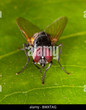 Close-up of a fly (?Tachinidae family) with golden wings and large red eyes - Stock Photo
