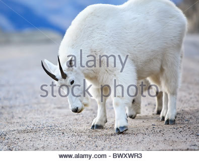 Mountain Goats licking roadside salt and minerals, Icefields Parkway, Jasper National Park, Alberta, Canada. - Stock Photo