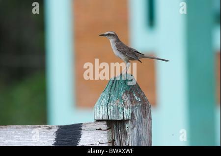 Chalk-browed Mockingbird (Mimus saturninus), The Pantanal, Mato Grosso, Brazil - Stock Photo