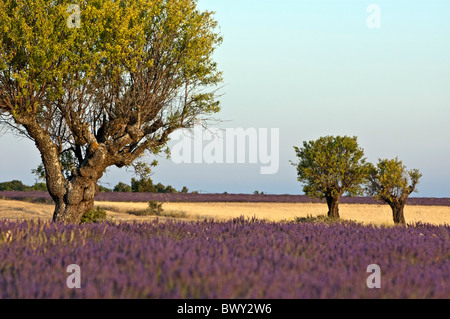 France Provence Valensole Three Trees In Lavender Field At Sunset - Stock Photo