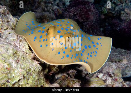 Blue spotted stingray Taeniura lymma - Stock Photo