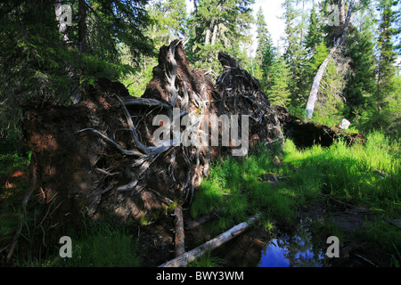 Massive roots of an uprooted tree in the forest, Kanas Conservation, Xinjiang Uyghur Autonomous Region, China - Stock Photo
