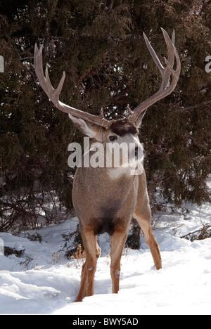 Mule Deer Odocoileus hemionus buck Rio Grande County Colorado USA - Stock Photo