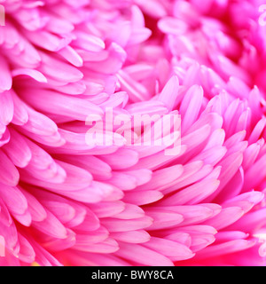 beautifully bright pink aster petals Jane-Ann Butler Photography JABP870 - Stock Photo