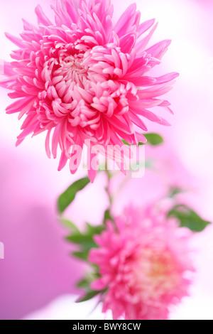 gorgeous fresh feel asters, a summer joy Jane-Ann Butler Photography JABP876 - Stock Photo