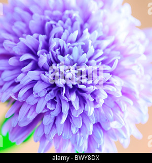 gorgeous soft focus lilac blue aster in full bloom Jane-Ann Butler Photography JABP867 - Stock Photo