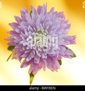 wonderful lilac aster in full bloom Jane-Ann Butler Photography JABP872 - Stock Photo