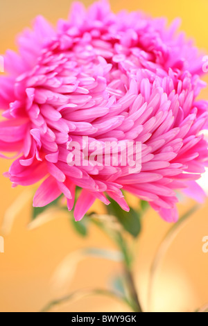 beautiful bright pink aster portrait Jane-Ann Butler Photography JABP871 - Stock Photo