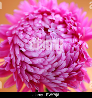 beautifully bright pink aster Jane-Ann Butler Photography JABP869 - Stock Photo