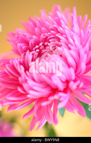 beautiful pink aster portrait Jane-Ann Butler Photography JABP875 - Stock Photo