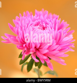 striking pink aster bloom Jane-Ann Butler Photography JABP873 - Stock Photo