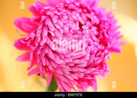beautifully bright pink aster Jane-Ann Butler Photography JABP868 - Stock Photo