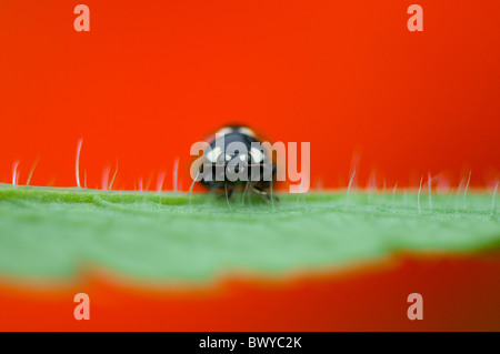 Close-up, Macro image of a 7-spot Ladybird - coccinella septempunctata resting on the vibrant red petal of  an Oriental - Stock Photo