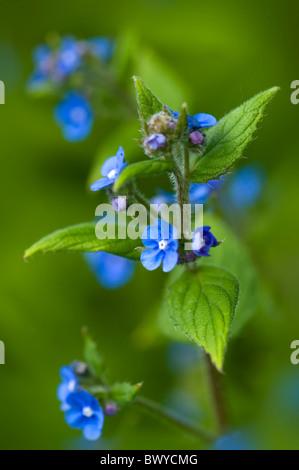 Small Blue Flowers Of Brunnera Macrophylla