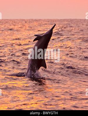 Hawaiian spinner dolphin, Stenella longirostris longirostris, jumping at sunset off Kona Coast, Big Island, Hawaii, - Stock Photo