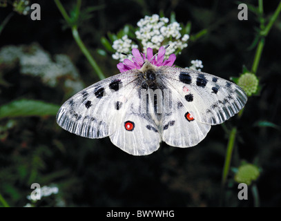 Apollo Apollofalter Engadine canton Graubunden Grisons Switzerland Europe Parnassius butterfly Switzerland - Stock Photo