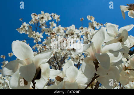 Blooming white Magnolia in spring, Beijing, China - Stock Photo