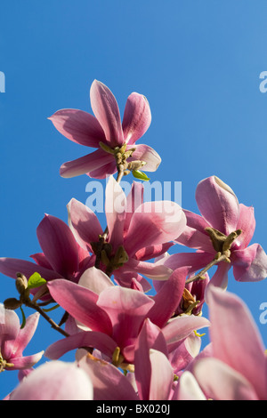 Blooming purple Magnolia in spring, Beijing, China - Stock Photo