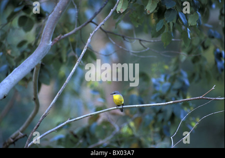 Australia Eastern Yellow Robin Eopsaltria australis New South Wales animal bird - Stock Photo