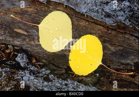 Alaska Alaska highway different bark birch birches leaf leaf leaves Close up detail yellow graphically - Stock Photo
