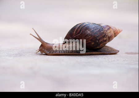 Achatina fulica, East African land snail, or Giant African land snail in India - Stock Photo