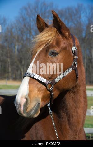 Horse head shot, a Tennessee Walker in winter coat with silver halter, taken in sunlight. - Stock Photo