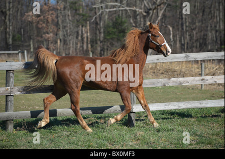 Horse in motion running along a weathered fence line, red sorrel Tennessee Walker in winter coat. - Stock Photo