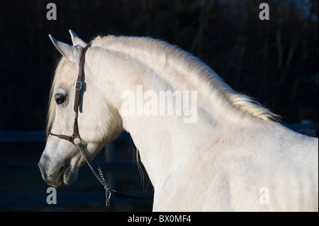 White Arabian horse against nearly black background, side view head and shoulders portrait shot in the last light - Stock Photo