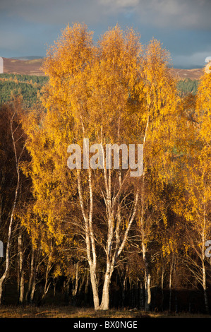 Silver birch trees in  autumn colours. - Stock Photo