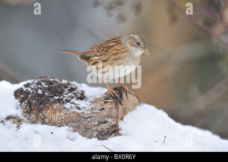 Dunnock accentor - Hedge accentor - Hedge-sparrow (Prunella modularis) looking for food in snow in winter - Stock Photo